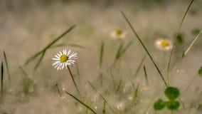 Fiore bianco del campo con erba piena della lanugine del pioppo fotografia stock libera da diritti
