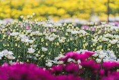 Fiore bianco del crisantemo e fondo giallo del crisantemo fotografia stock