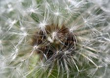 Fiore bianco del dente di leone della molla Fotografia Stock