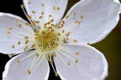 Fiore bianco del deserto Fotografie Stock