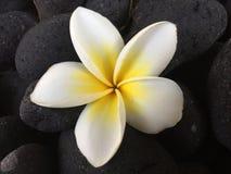 Fiore bianco del frangipane su blackground nero fotografie stock