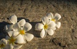 Fiore bianco del frangipane sulla terra Fotografia Stock Libera da Diritti