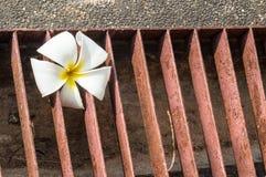 Fiore bianco del Frangipani Fotografia Stock Libera da Diritti