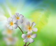 Fiore bianco del frangipani con la natura verde   Fotografia Stock