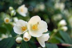 Fiore bianco del gelsomino Immagini Stock Libere da Diritti