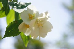 Fiore bianco del gelsomino Immagini Stock