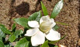 Fiore bianco del gelsomino Immagine Stock
