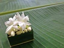 Fiore bianco del gelsomino e fondo verde Fotografie Stock Libere da Diritti
