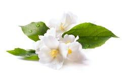 Fiore bianco del gelsomino su priorità bassa bianca Immagini Stock