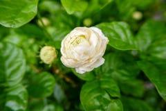 Fiore bianco del gelsomino in un giardino immagine stock libera da diritti