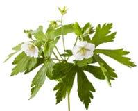Fiore bianco del geranio fotografia stock