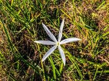 fiore bianco del giglio di palude fotografia stock libera da diritti