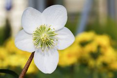 Fiore bianco del helleborus Niger Christmas Rose fotografia stock libera da diritti