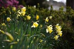 Fiore bianco del narciso Fotografia Stock Libera da Diritti