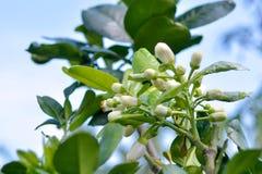 Fiore bianco del pomelo verde Fotografia Stock Libera da Diritti