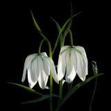 Fiore bianco del primo piano del bellflower per il grande manifesto. Fotografia Stock Libera da Diritti
