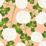 Fiore bianco del ranunculus su Salmon Pink Background Illustrazione di vettore Fotografia Stock Libera da Diritti