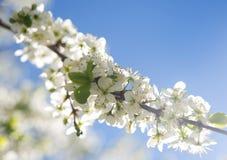 Fiore bianco del susino con cielo blu su fondo Fotografia Stock Libera da Diritti