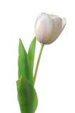 Fiore bianco del tulipano immagine stock libera da diritti