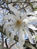 Fiore bianco dell'albero contro il cielo immagini stock