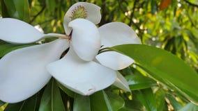 Fiore bianco dell'albero di ficus elastica Primo piano archivi video