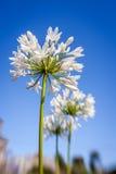 Fiore bianco dell'allium Fotografia Stock Libera da Diritti