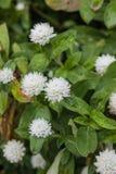 Fiore bianco dell'amaranto Fotografia Stock