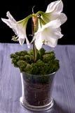 Fiore bianco dell'amarillide sulla tavola porpora fotografia stock