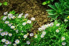 Fiore bianco dell'aster nel giardino Fotografie Stock Libere da Diritti