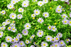 Fiore bianco dell'aster nel giardino Immagine Stock Libera da Diritti