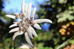 Fiore bianco dell'edelweiss Fotografia Stock Libera da Diritti