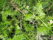 Fiore bianco dell'erba con il fondo della sfuocatura Immagini Stock