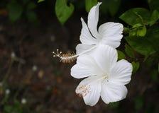 Fiore bianco dell'ibisco Fotografia Stock Libera da Diritti
