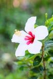 Fiore bianco dell'ibisco. Fotografia Stock Libera da Diritti