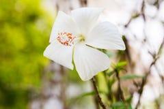 Fiore bianco dell'ibisco Fotografia Stock