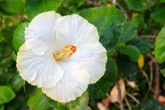 Fiore bianco dell'ibisco Immagine Stock Libera da Diritti