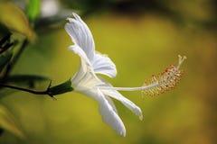 Fiore bianco dell'ibisco Immagini Stock