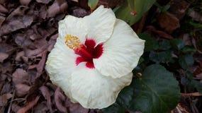 Fiore bianco dell'ibisco Fotografie Stock Libere da Diritti