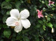 Fiore bianco dell'ibisco con polline rosa immagine stock
