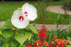 Fiore bianco dell'ibisco di Luna Immagini Stock