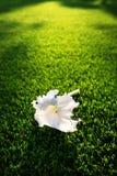 Fiore bianco dell'ibisco sull'erba verde Immagine Stock Libera da Diritti