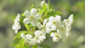 Fiore bianco dell'inflorescenza che ondeggia nel vento stock footage