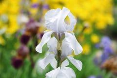 Fiore bianco dell'iride in un giardino botanico Immagine Stock