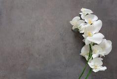 Fiore bianco dell'orchidea in fioritura Fotografie Stock Libere da Diritti