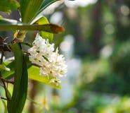 Fiore bianco dell'orchidea in giardino tropicale, gigantea di Rhynchostylis, Immagini Stock Libere da Diritti