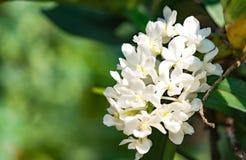 Fiore bianco dell'orchidea in giardino tropicale, gigantea di Rhynchostylis, Immagine Stock