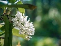 Fiore bianco dell'orchidea in giardino tropicale, gigantea di Rhynchostylis, Immagine Stock Libera da Diritti