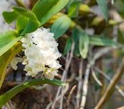 Fiore bianco dell'orchidea in giardino tropicale, gigantea di Rhynchostylis, Fotografia Stock Libera da Diritti