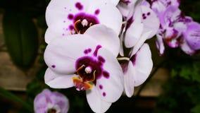 Fiore bianco dell'orchidea macchiato porpora La macchina fotografica si spost indietroare sul cursore Correzione di colore archivi video