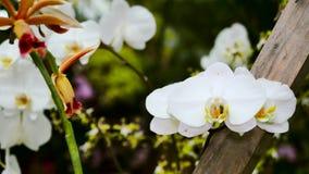 Fiore bianco dell'orchidea in un primo piano del giardino La macchina fotografica si spost indietroare sul cursore Correzione di  video d archivio